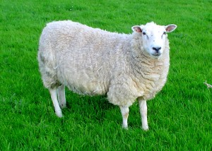An average american, I mean a sheep